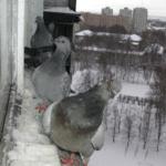 Как отвадить голубей с крыши